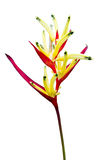 Heliconia flower isolated Stock Photos