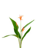 Heliconia flower isolated on white background Royalty Free Stock Photo