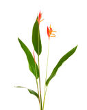 Heliconia flower isolated on white background. Heliconia flower isolated and white background Stock Photography