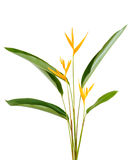 Heliconia flower isolated on white background. Heliconia flower isolated and white background Stock Photos