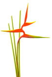 Heliconia flower isolated on white background. Heliconia flower isolated and white background Royalty Free Stock Photography
