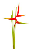 Heliconia flower isolated on white background. Heliconia flower isolated and white background Stock Images