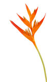 Heliconia flower isolated and white background Royalty Free Stock Photos