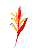 Heliconia Stock Images