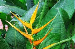 Heliconia flower variety. With big leaf backdrop Royalty Free Stock Image