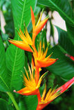 Heliconia flower variety. With green leaf backdrop Royalty Free Stock Photo