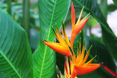 Heliconia flower variety. With green leafs backdrop stock photography