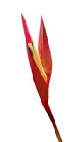 Heliconia flower on white background Royalty Free Stock Images