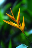 Heliconia flower Royalty Free Stock Photography