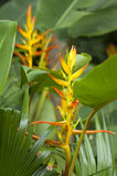 Heliconia Flowers Stock Image