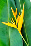 Heliconia flowers Stock Photo