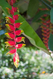 Heliconia flowers Royalty Free Stock Photography