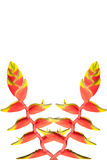 Heliconia  Flowers. Royalty Free Stock Images
