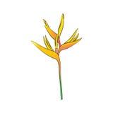 Heliconia folwer Στοκ εικόνα με δικαίωμα ελεύθερης χρήσης