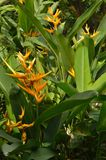 Heliconia. Is a genus of flowering plants in the family ceae. Most of the ca 194 known species are native to the tropical Americas, but a few are indigenous to royalty free stock images