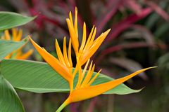 Heliconia Golden Torch. Golden torch - Heliconia Psittacorum Stock Photo