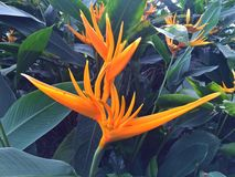 Heliconia psittacorum Golden Torch Stock Images