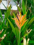 Heliconia golden torch Royalty Free Stock Images