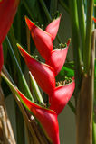 Heliconia(Heliconia stricta) Stock Images