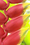 Heliconia hisurta musaceae plant Royalty Free Stock Image