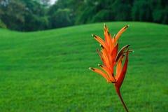 Heliconia i parkera Royaltyfria Bilder