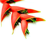 Heliconia isolated Royalty Free Stock Photography