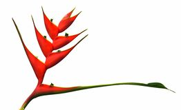 Heliconia  isolated on white background. Royalty Free Stock Images