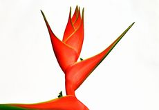 Heliconia isolated on white background. Royalty Free Stock Image
