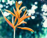 Heliconia kwiat w makro- - Akcyjny wizerunek Zdjęcia Royalty Free