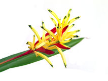 Heliconia, Lady Di Heliconia lub Parakeet kwiat, Zdjęcie Royalty Free