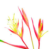 Heliconia 'Lady Di' Royalty Free Stock Photo
