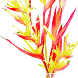 Heliconia 'Lady Di' Royalty Free Stock Photography