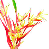 Heliconia 'LadyDi' Royalty Free Stock Photos
