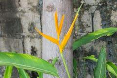 Heliconia latispatha Royalty Free Stock Photos