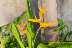 Heliconia latispatha Royalty Free Stock Images
