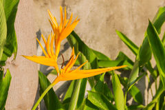 Heliconia latispatha Stock Images