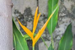 Heliconia latispatha Royalty Free Stock Image