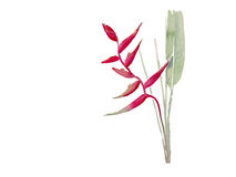Heliconia with leaf watercolor vector Royalty Free Stock Photos
