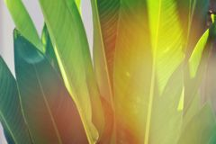 Heliconia leaves background with morning light in the tropical forest garden stock photos