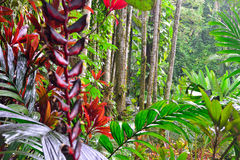 Heliconia longissima in a tropical forest Stock Photo