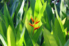 Heliconia no jardim Imagem de Stock Royalty Free