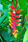 Heliconia Pendula, Costa Rica Photo libre de droits