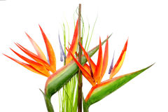 Heliconia Plant Stock Photo