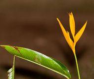 Heliconia plant Royalty Free Stock Photography