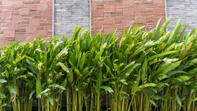 Heliconia plants in front of a bricked wall. Heliconia plants in front of a brick wall for home decoration idea Stock Photo