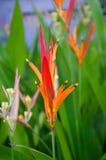 Heliconia psitacorum格斯达里加热带花 免版税库存图片