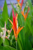 Heliconia psitacorum Costa Rica Tropical Flower Royalty Free Stock Image