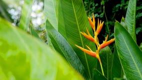 HELICONIA PSITTACORUM或黄色天堂鸟花和一些水在热带区域绿色庭院里滴下在雨背景以后 免版税图库摄影