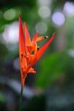 Heliconia psittacorum 库存照片