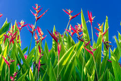 Heliconia psittacorum flower field with blue sky Royalty Free Stock Images